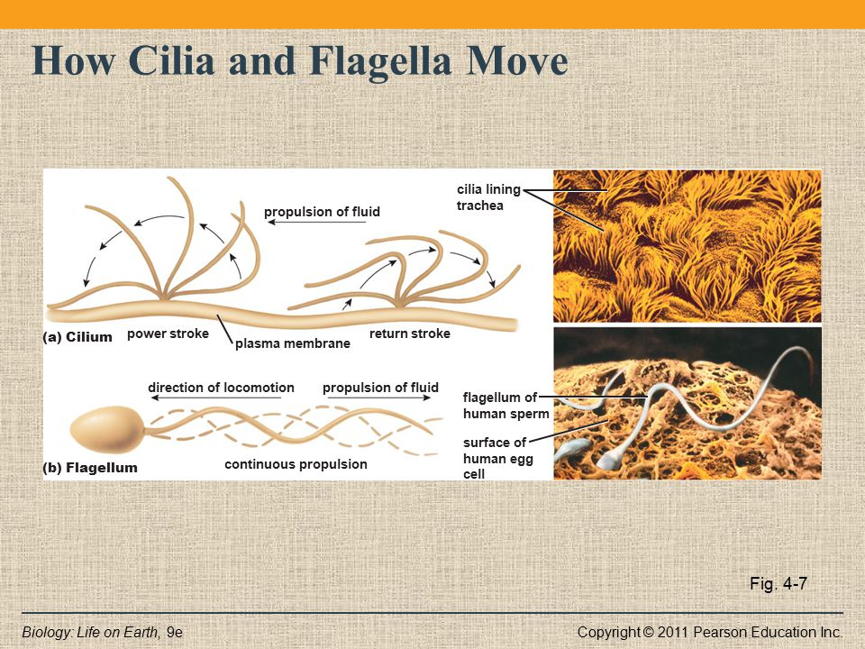 How Cilia and Flagella Move