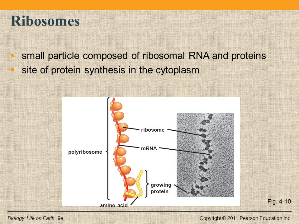 Ribosomes small particle composed of ribosomal RNA and proteins
