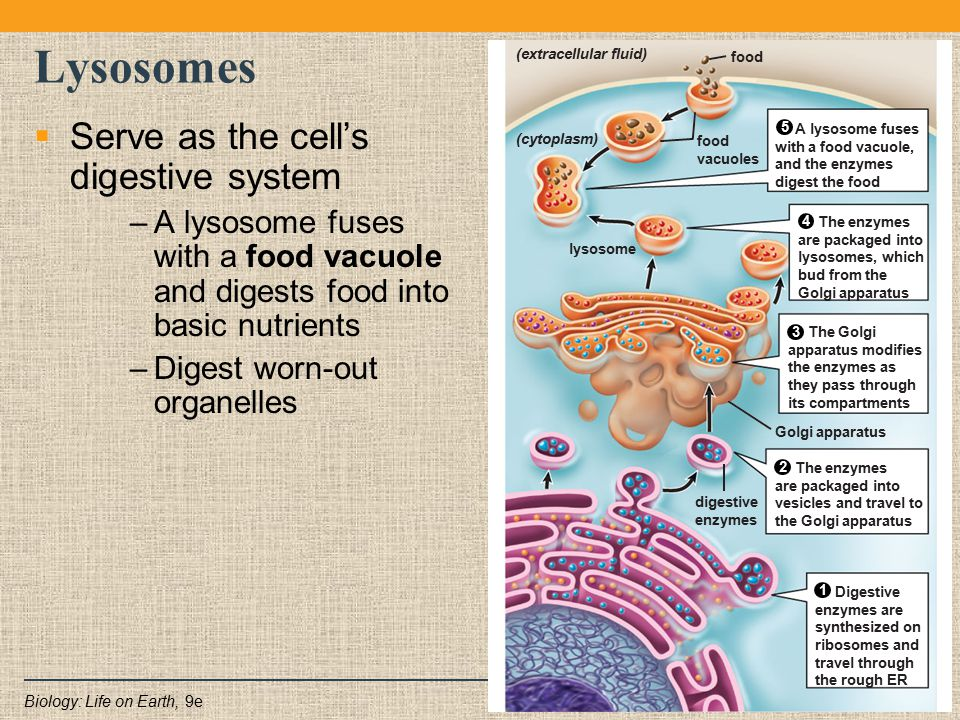 Lysosomes Serve as the cell's digestive system