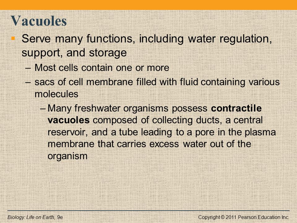 Vacuoles Serve many functions, including water regulation, support, and storage. Most cells contain one or more.