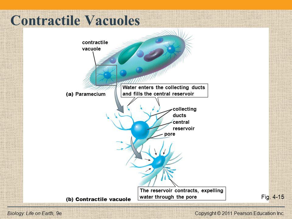 Contractile Vacuoles Fig. 4-15 contractile vacuole