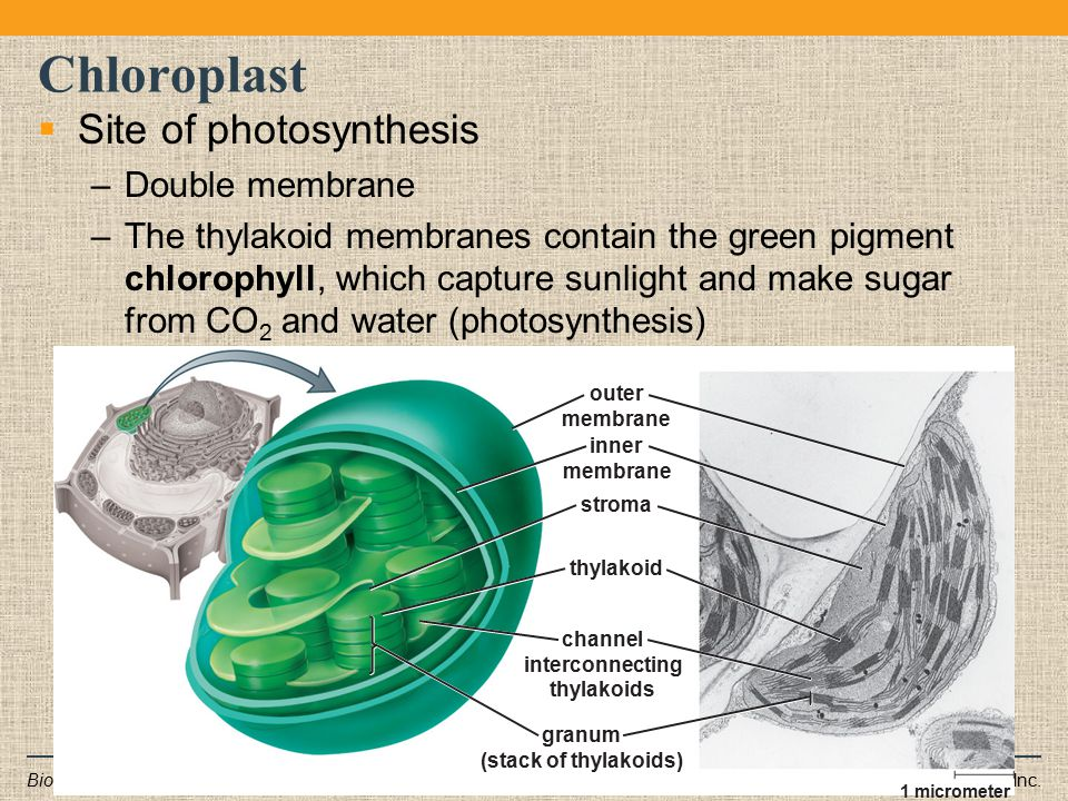 Chloroplast Site of photosynthesis Double membrane