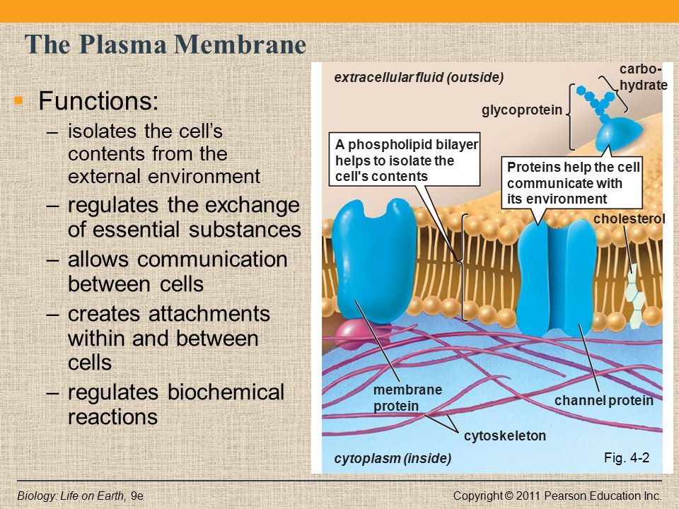 The Plasma Membrane Functions: