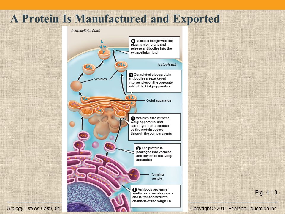 A Protein Is Manufactured and Exported