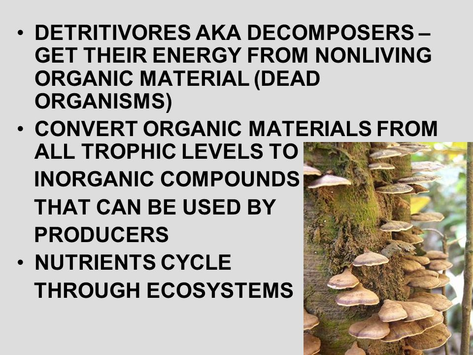 DETRITIVORES AKA DECOMPOSERS – GET THEIR ENERGY FROM NONLIVING ORGANIC MATERIAL (DEAD ORGANISMS)