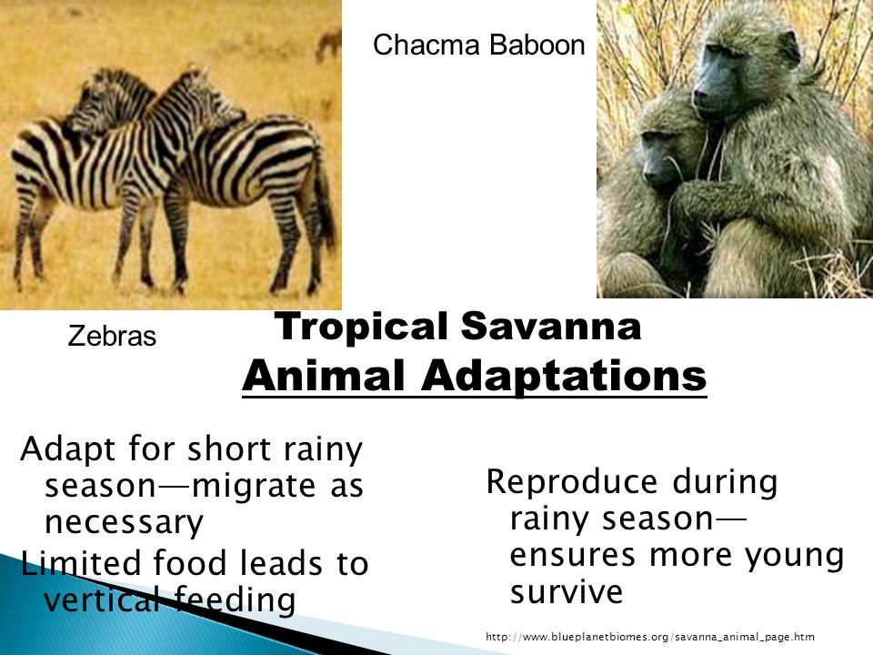 Tropical Savanna Animal Adaptations