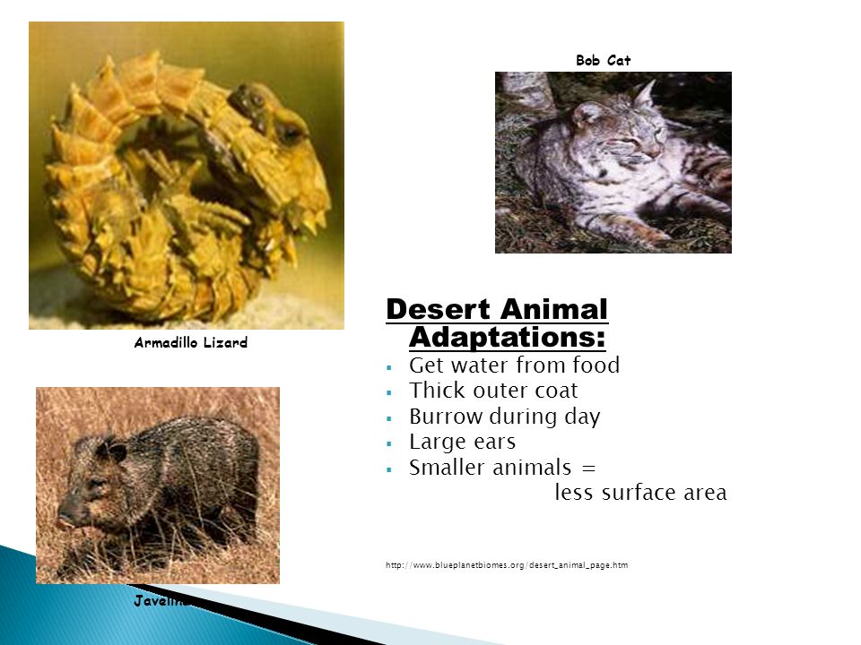 Desert Animal Adaptations: