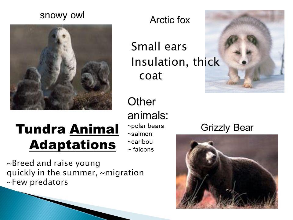 Tundra Animal Adaptations