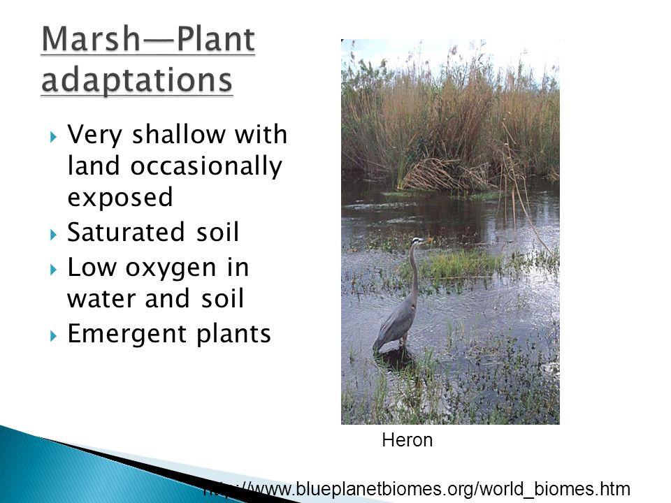 Marsh—Plant adaptations