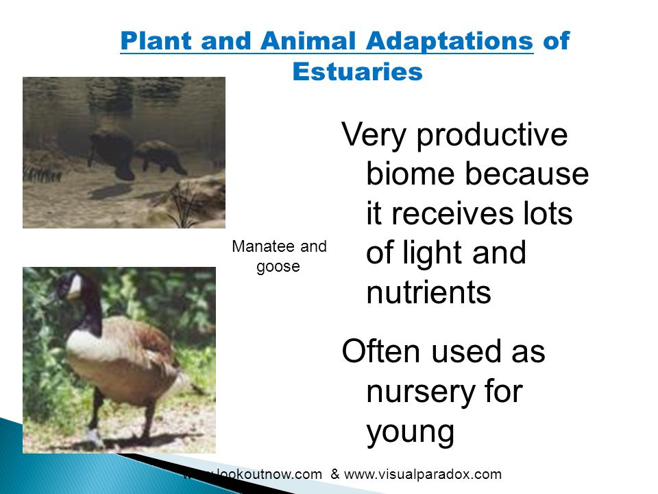 Plant and Animal Adaptations of Estuaries