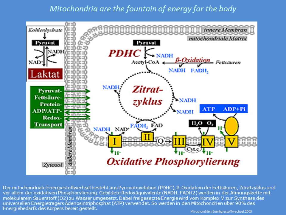 Mitochondria are the fountain of energy for the body