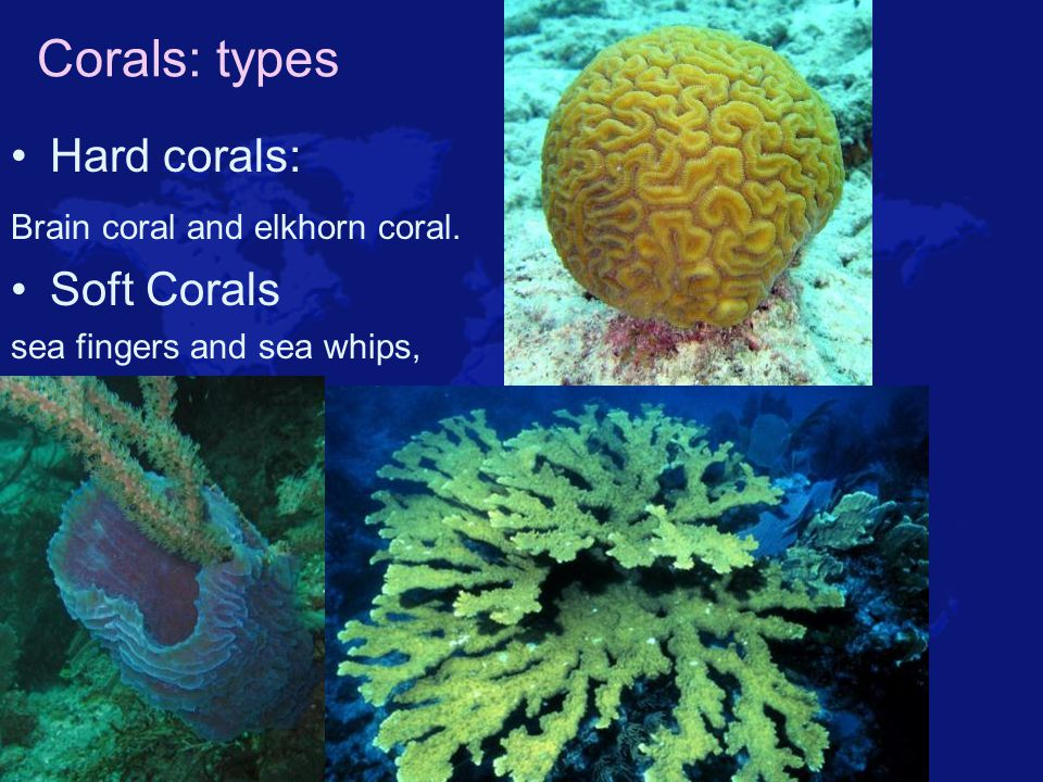 Corals: types Hard corals: Soft Corals Brain coral and elkhorn coral.