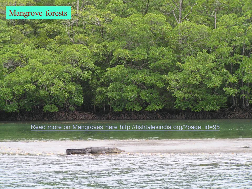 Mangrove forests Read more on Mangroves here http://fishtalesindia.org/ page_id=95