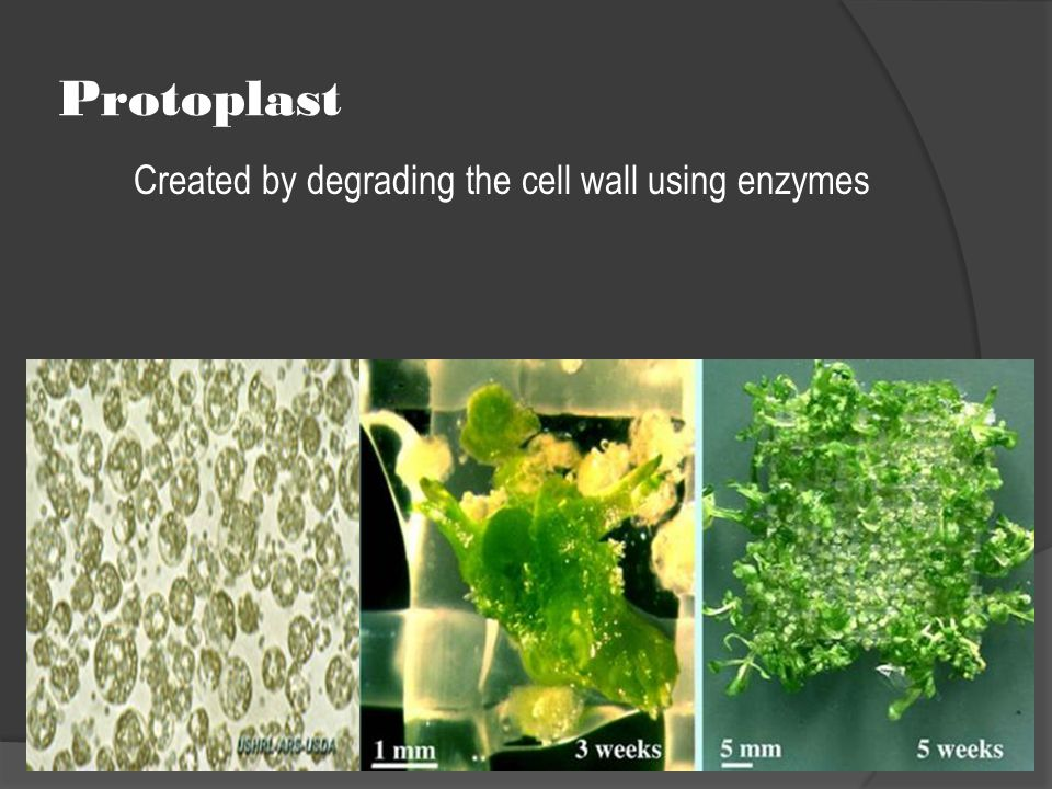 Created by degrading the cell wall using enzymes