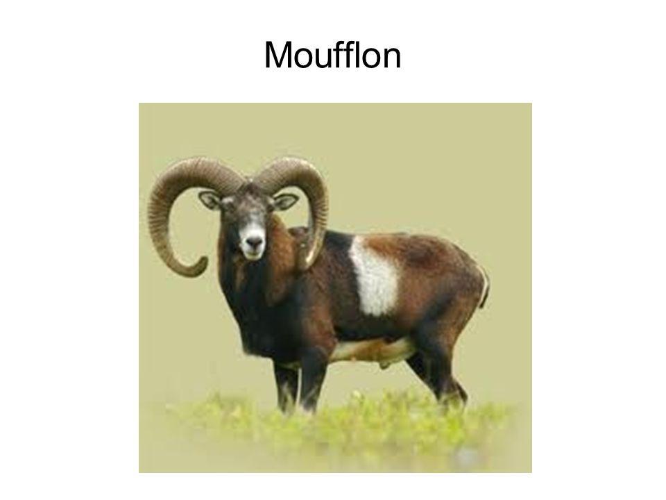 Moufflon