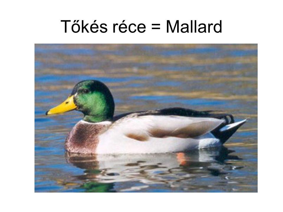 Tőkés réce = Mallard