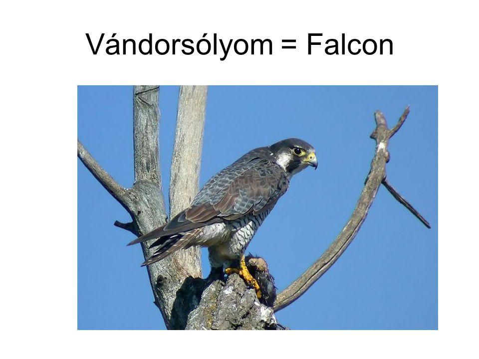 Vándorsólyom = Falcon