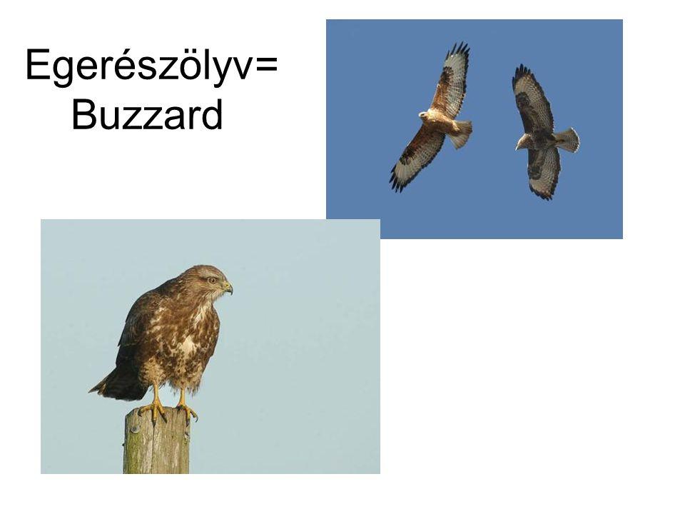 Egerészölyv= Buzzard