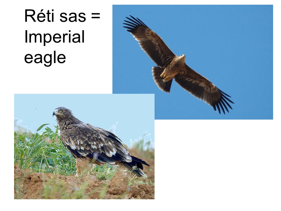 Réti sas = Imperial eagle