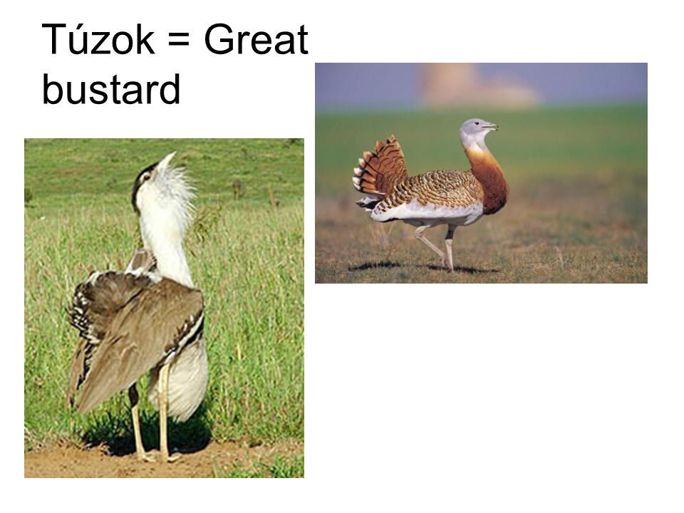 Túzok = Great bustard