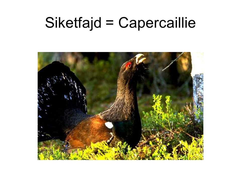 Siketfajd = Capercaillie