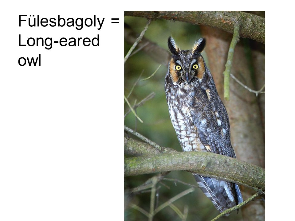 Fülesbagoly = Long-eared owl