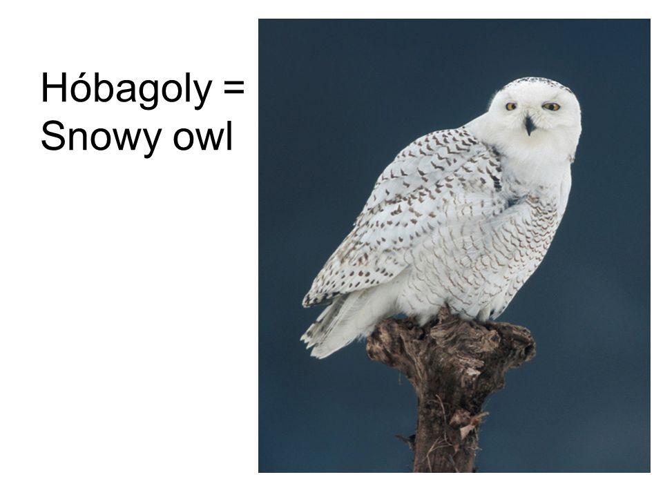 Hóbagoly = Snowy owl