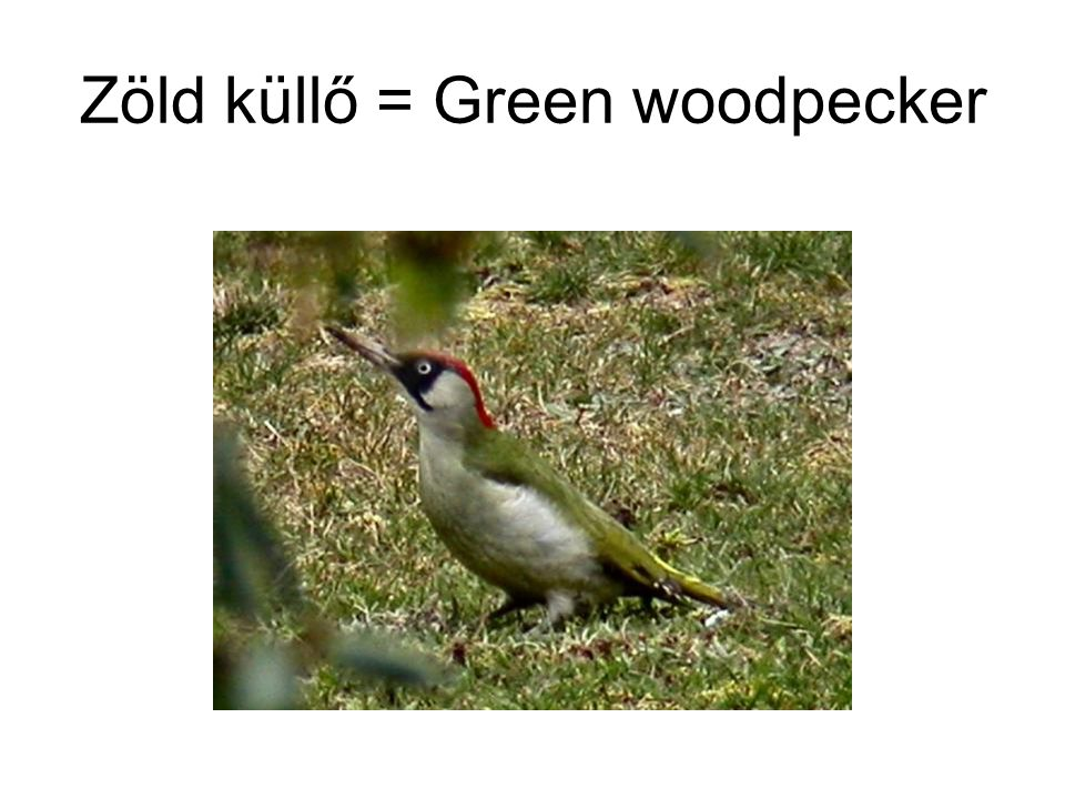 Zöld küllő = Green woodpecker