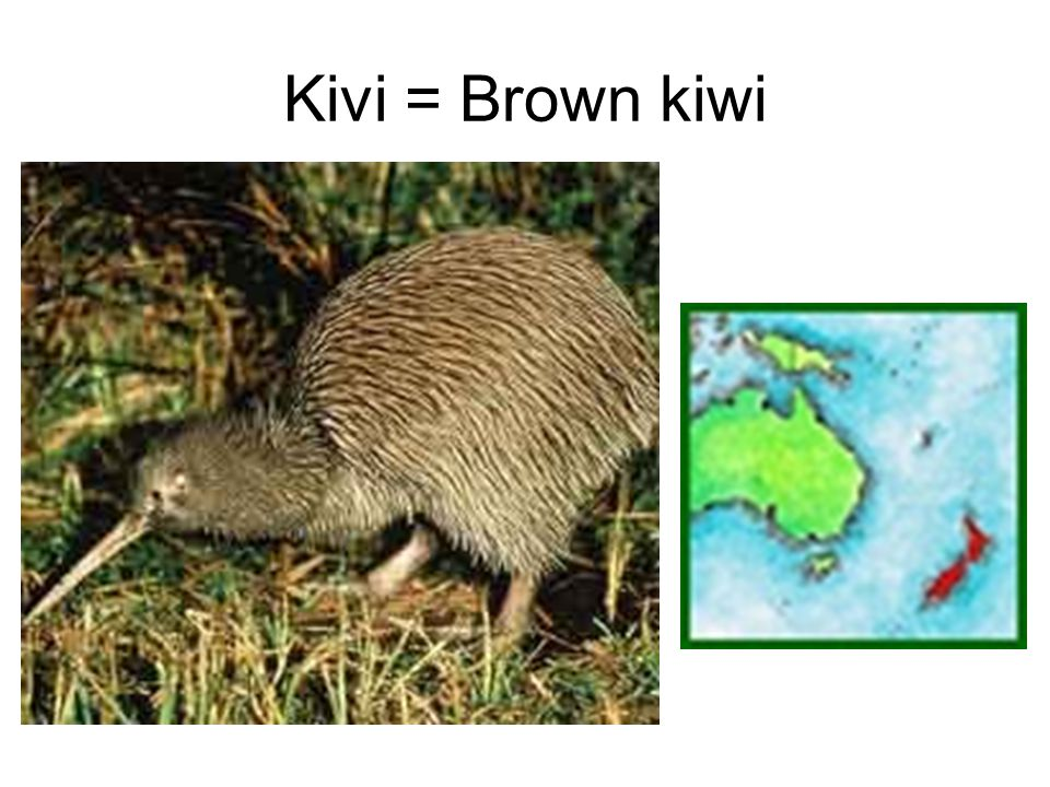 Kivi = Brown kiwi