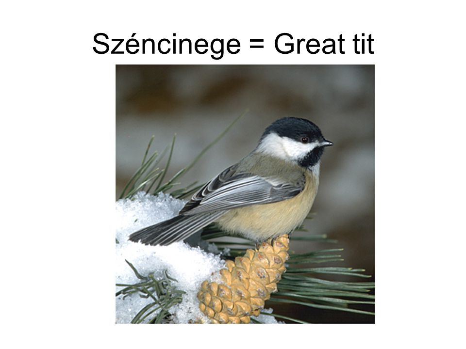 Széncinege = Great tit