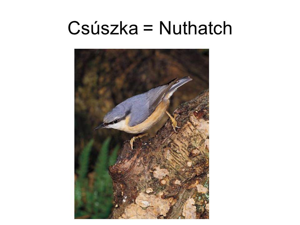 Csúszka = Nuthatch