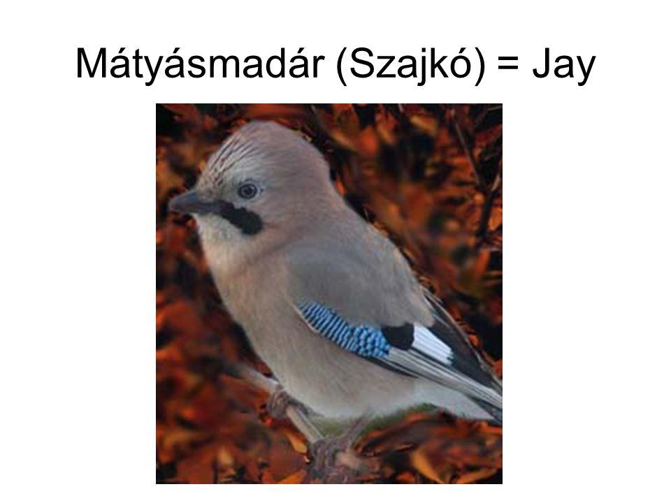 Mátyásmadár (Szajkó) = Jay