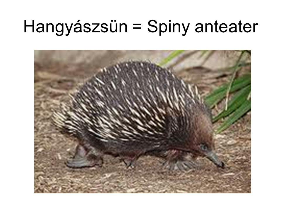 Hangyászsün = Spiny anteater