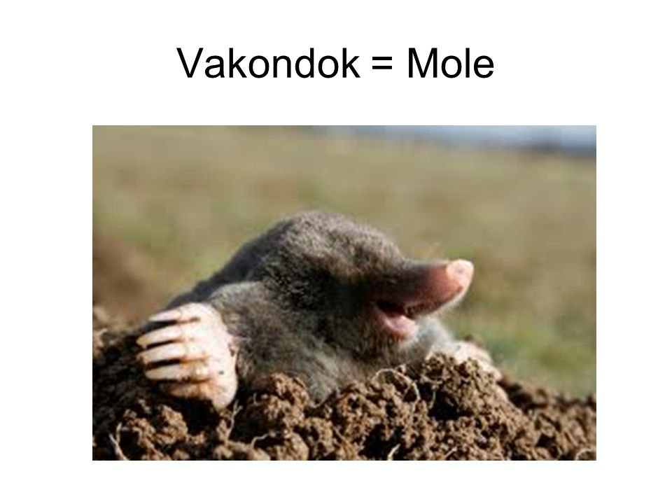 Vakondok = Mole