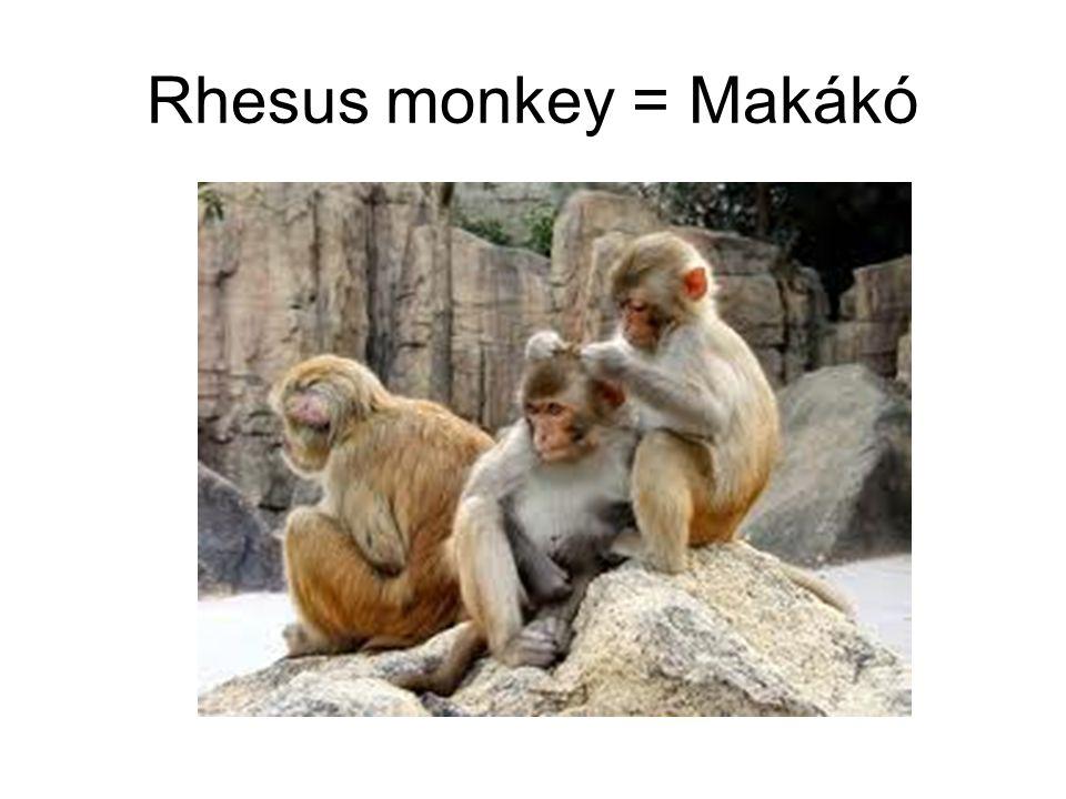 Rhesus monkey = Makákó