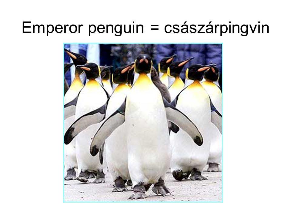 Emperor penguin = császárpingvin