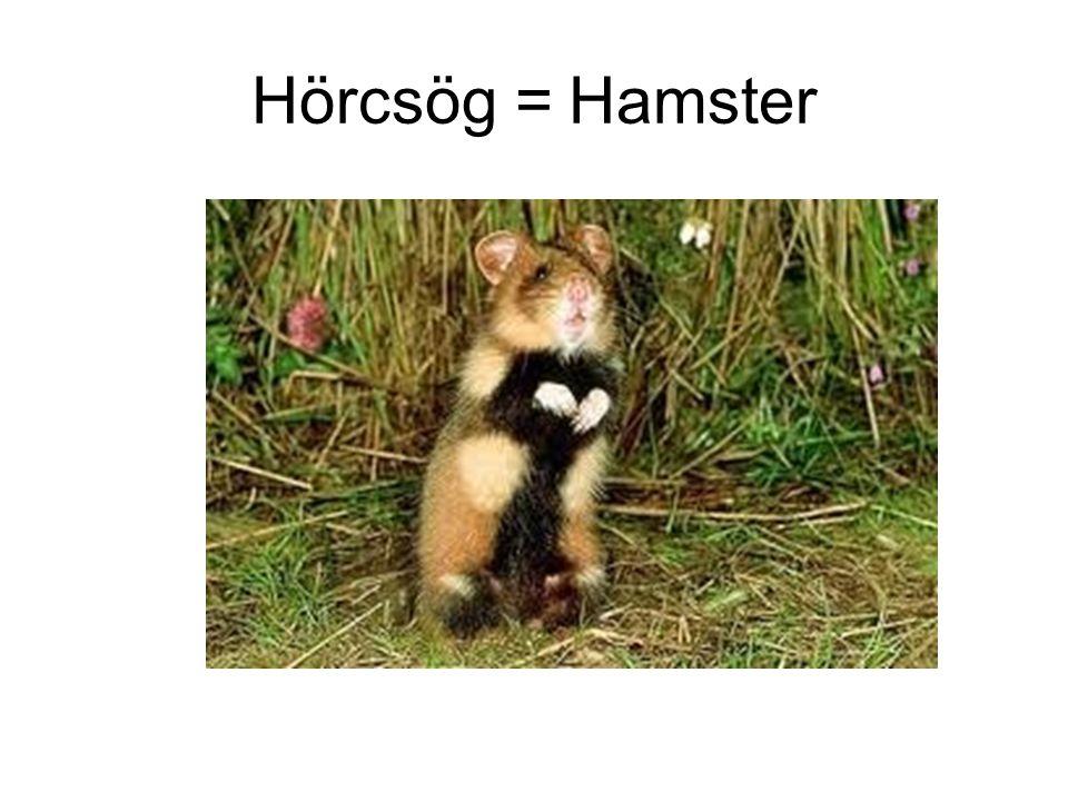 Hörcsög = Hamster