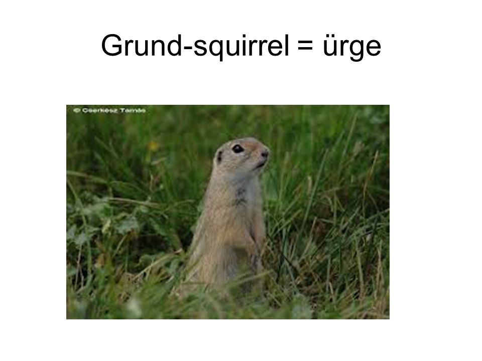 Grund-squirrel = ürge