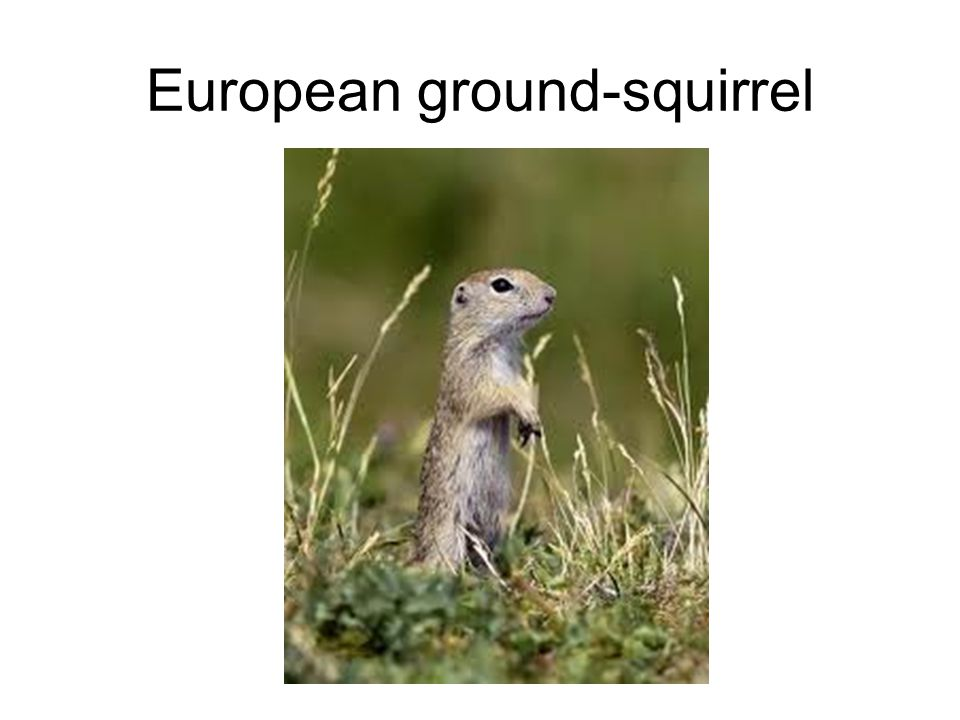 European ground-squirrel