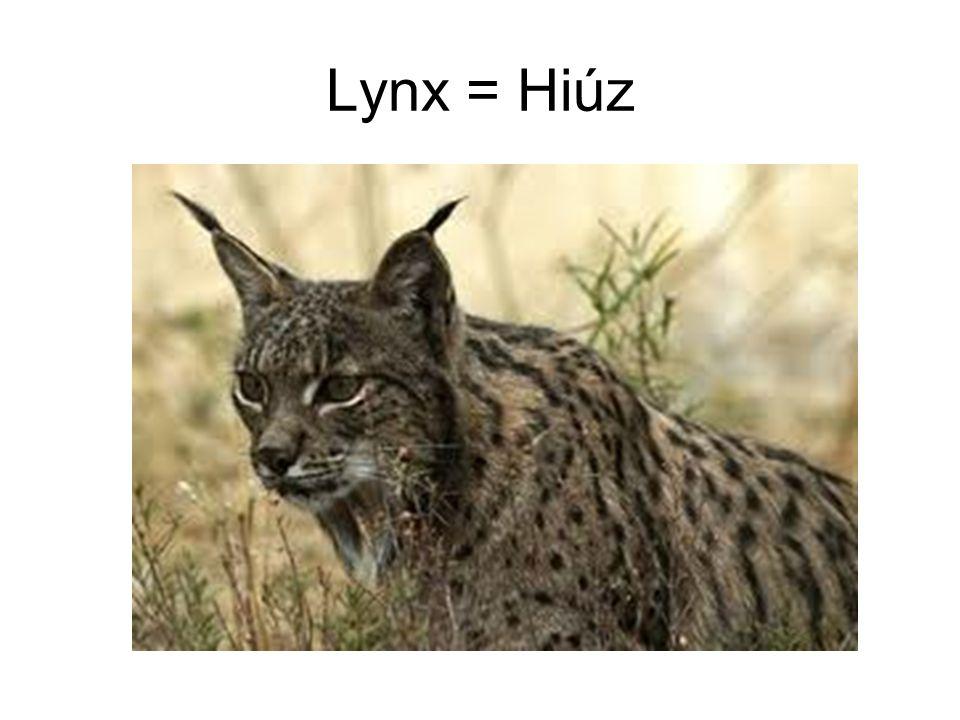 Lynx = Hiúz