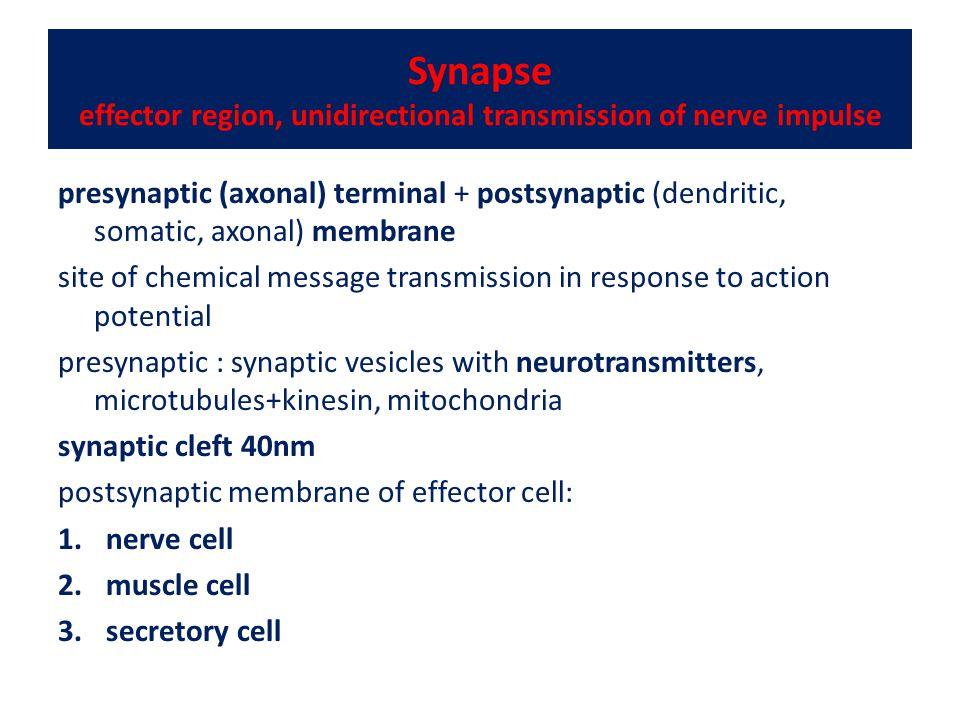 Synapse effector region, unidirectional transmission of nerve impulse
