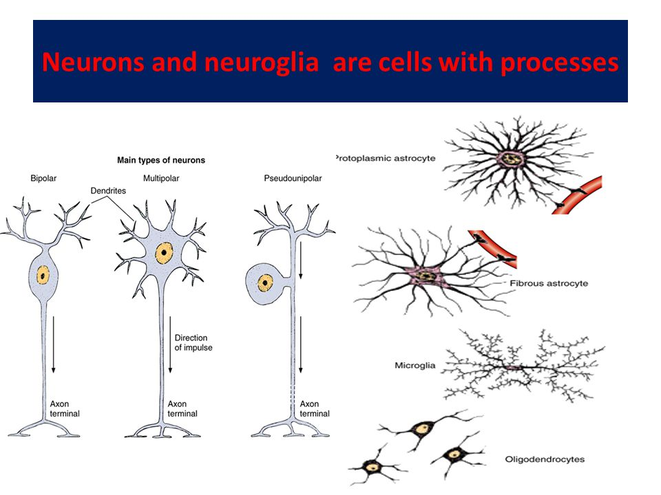 Neurons and neuroglia are cells with processes