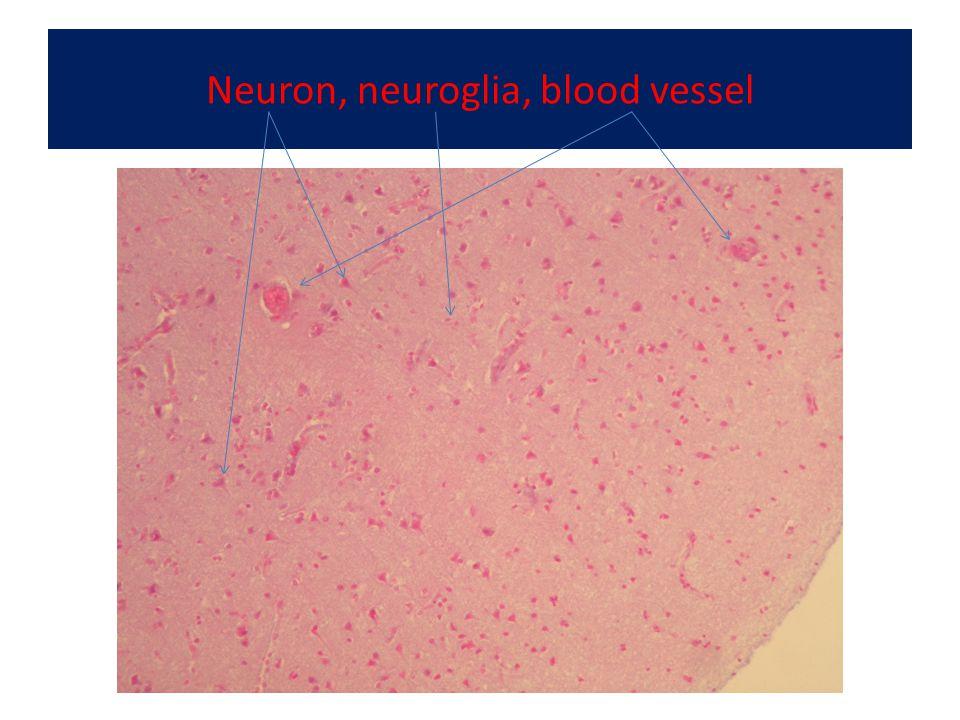 Neuron, neuroglia, blood vessel