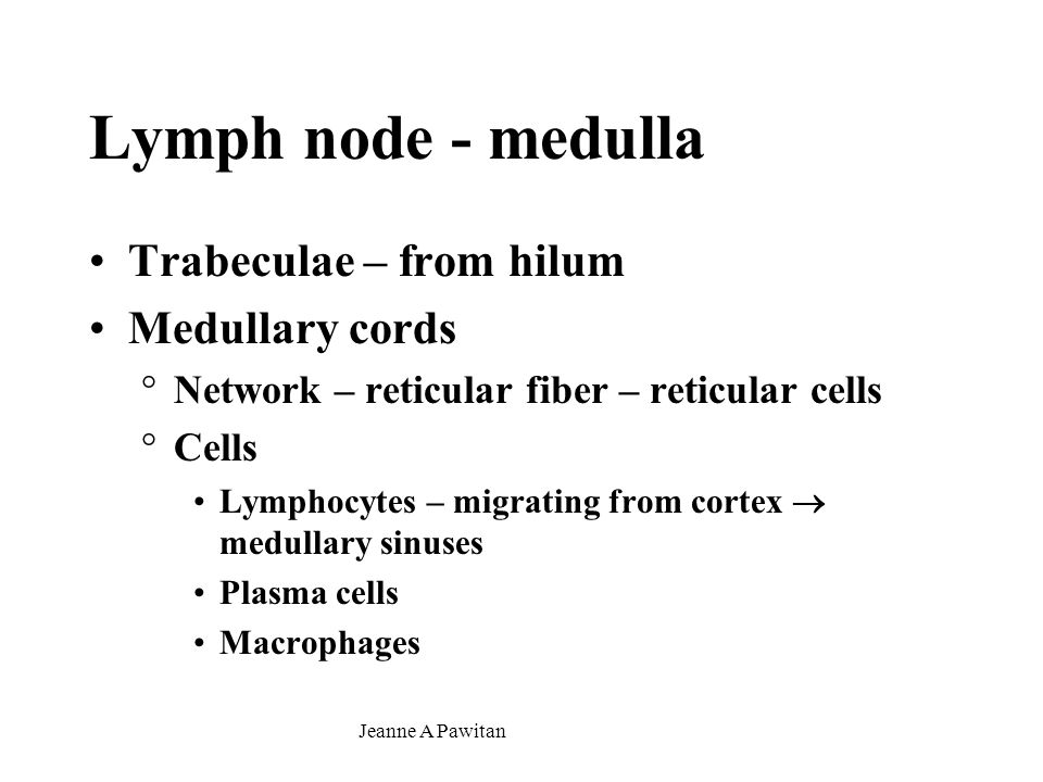 Lymph node - medulla Trabeculae – from hilum Medullary cords