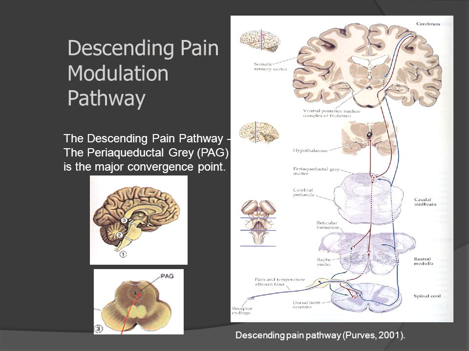 Descending Pain Modulation Pathway