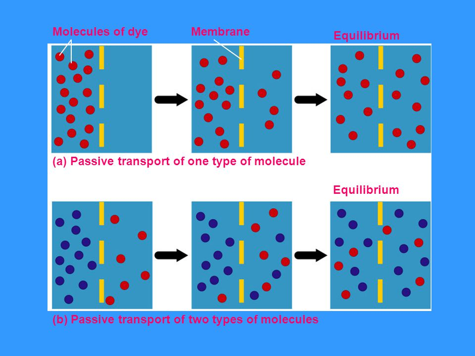 Molecules of dye Membrane. (a) Passive transport of one type of molecule.
