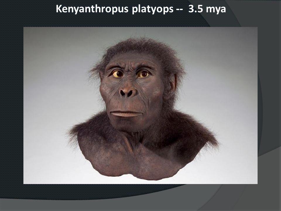 Kenyanthropus platyops -- 3.5 mya