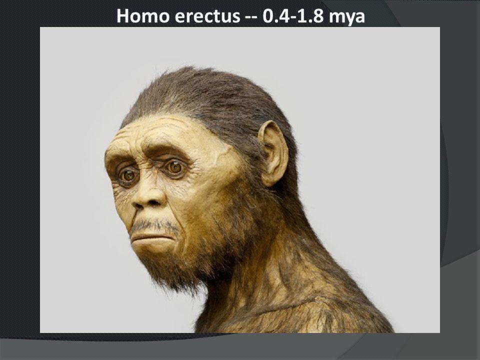 Homo erectus -- 0.4-1.8 mya
