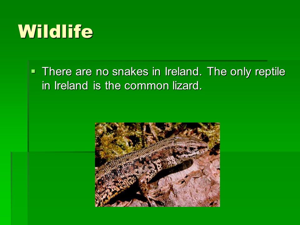 Wildlife There are no snakes in Ireland. The only reptile in Ireland is the common lizard.