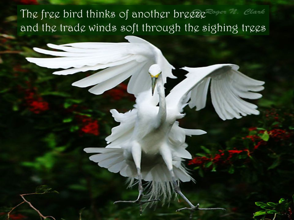 The free bird thinks of another breeze